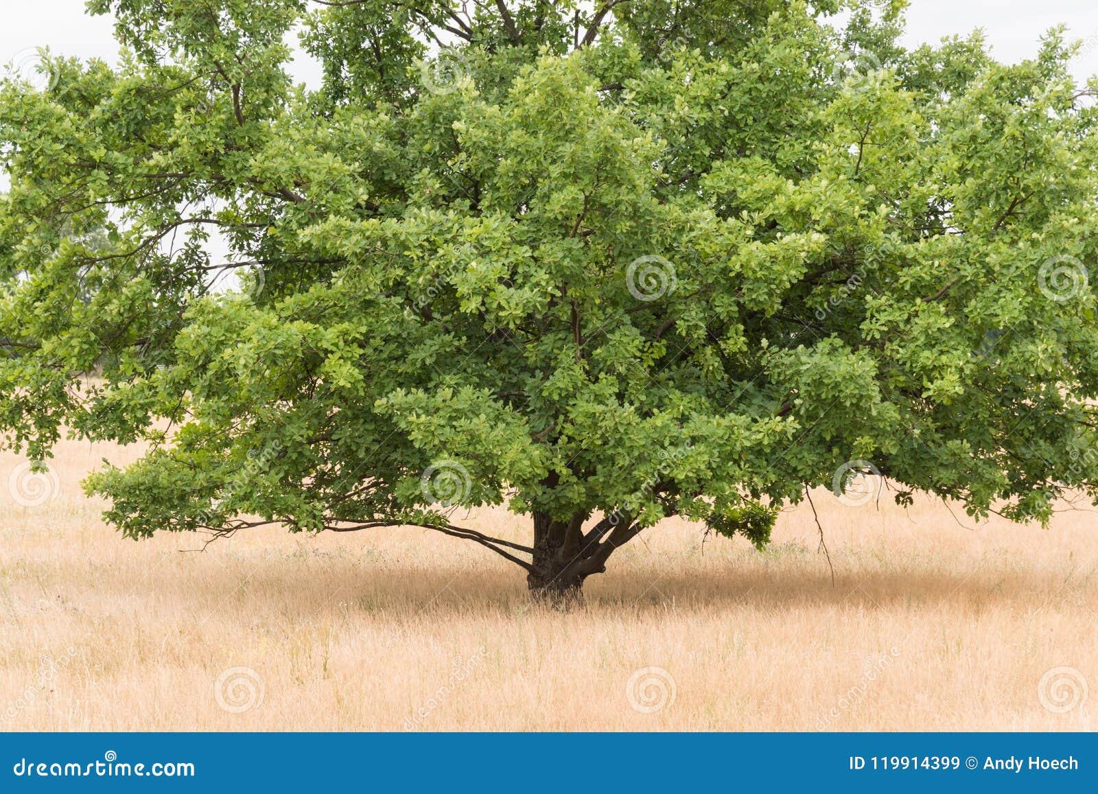 El roble sésil se coloca en el brezo