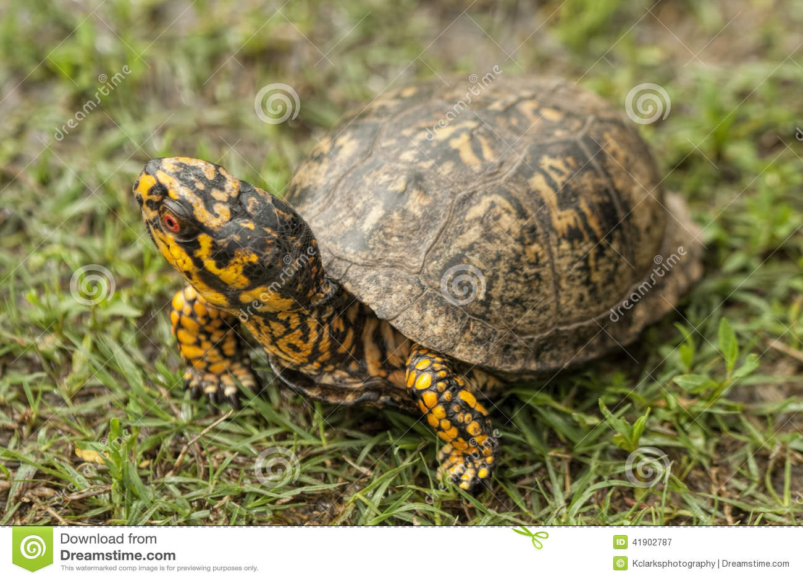 El rojo de Alabama observó la tortuga de caja masculina - Terrapene Carolina