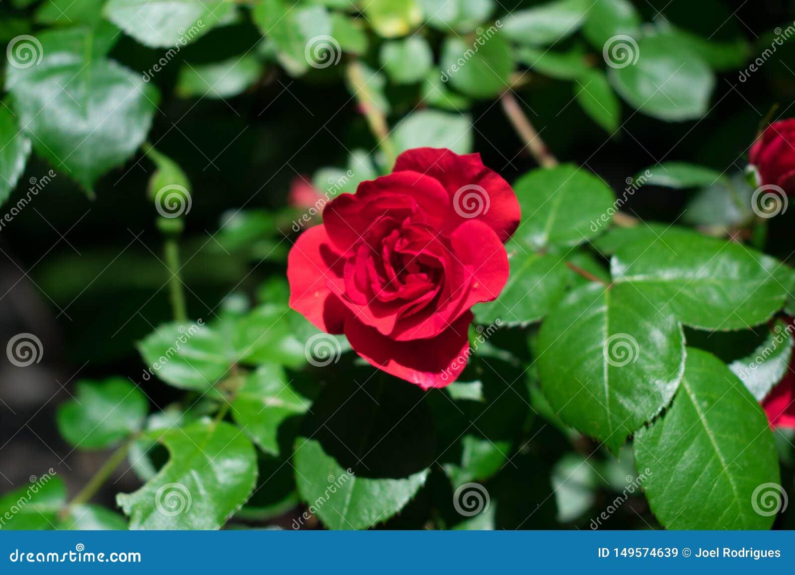 El rojo del escarlata subió en un frente de los inf del día soleado de hojas verdes