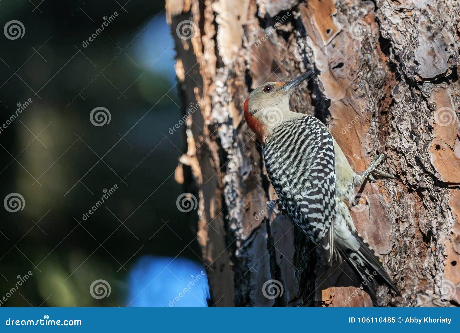 El rojo femenino hinchó la pulsación de corriente en un árbol de pino