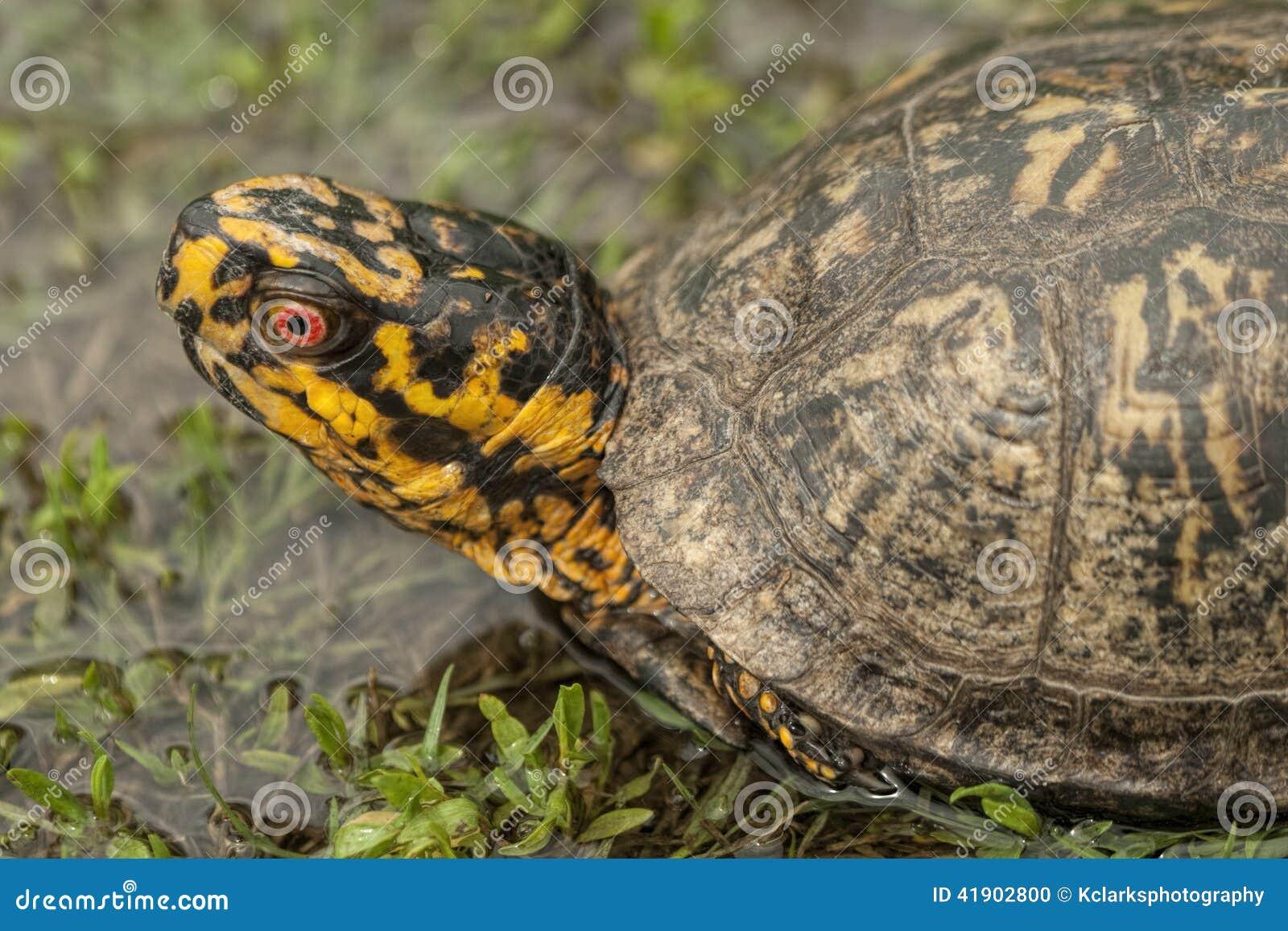 El rojo observó el primer masculino de la tortuga de caja - Terrapene Carolina