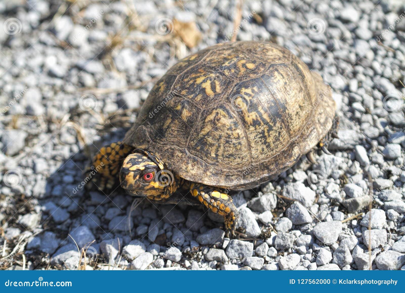 El rojo observó el Terrapene del este masculino Carolina Carolina de la tortuga de caja