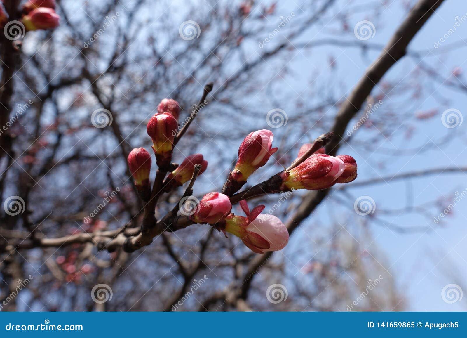 El rosa cerró los brotes de flor en la rama del albaricoque contra el cielo azul