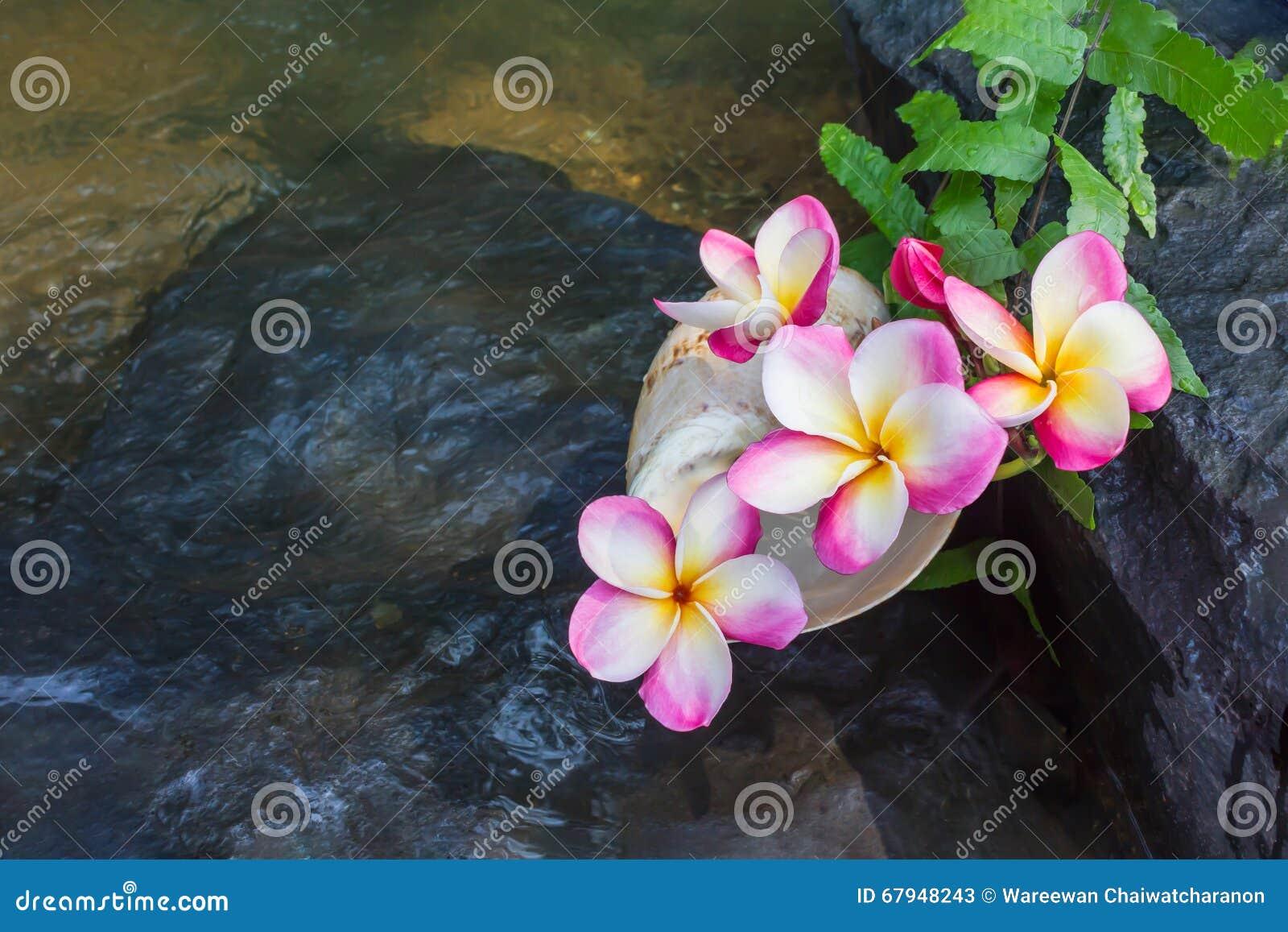 Fiori Con La S.El Rosa Florece El Frangipani O El Plumeria En La Roca De La