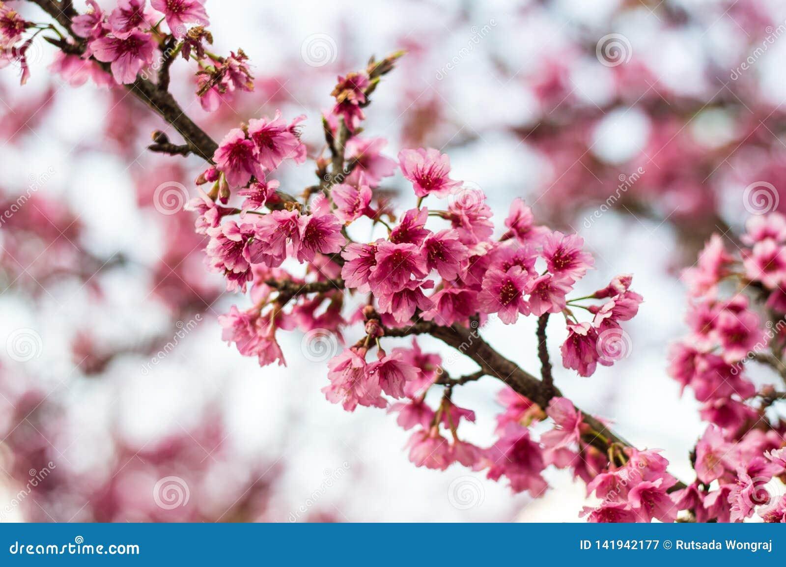 El rosa hermoso de la cereza florece floración de Sakura