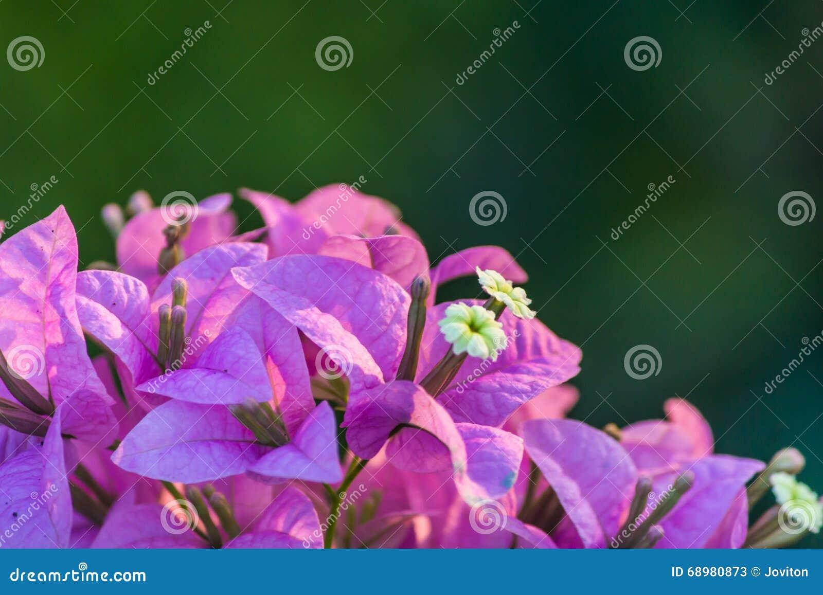 El rosa hermoso florece Goa la India