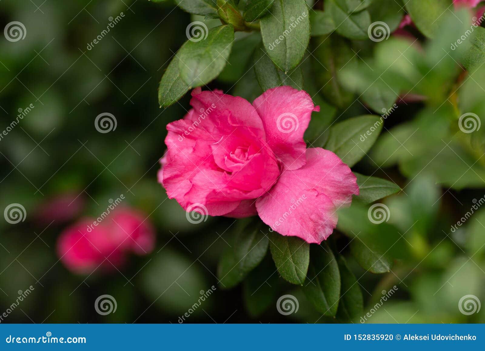 El rosa se alzó en una rama en cierre