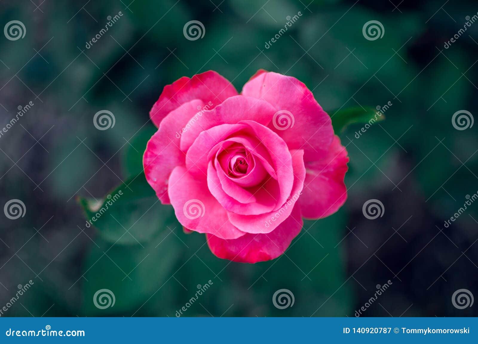 El rosa subió aislado de fondo azulado