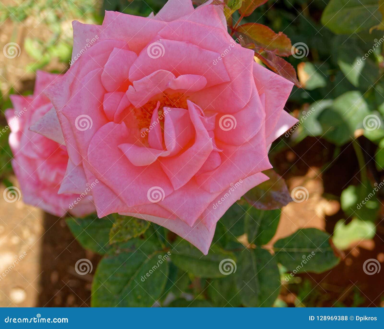 El rosa subió flor en el jardín, visión superior