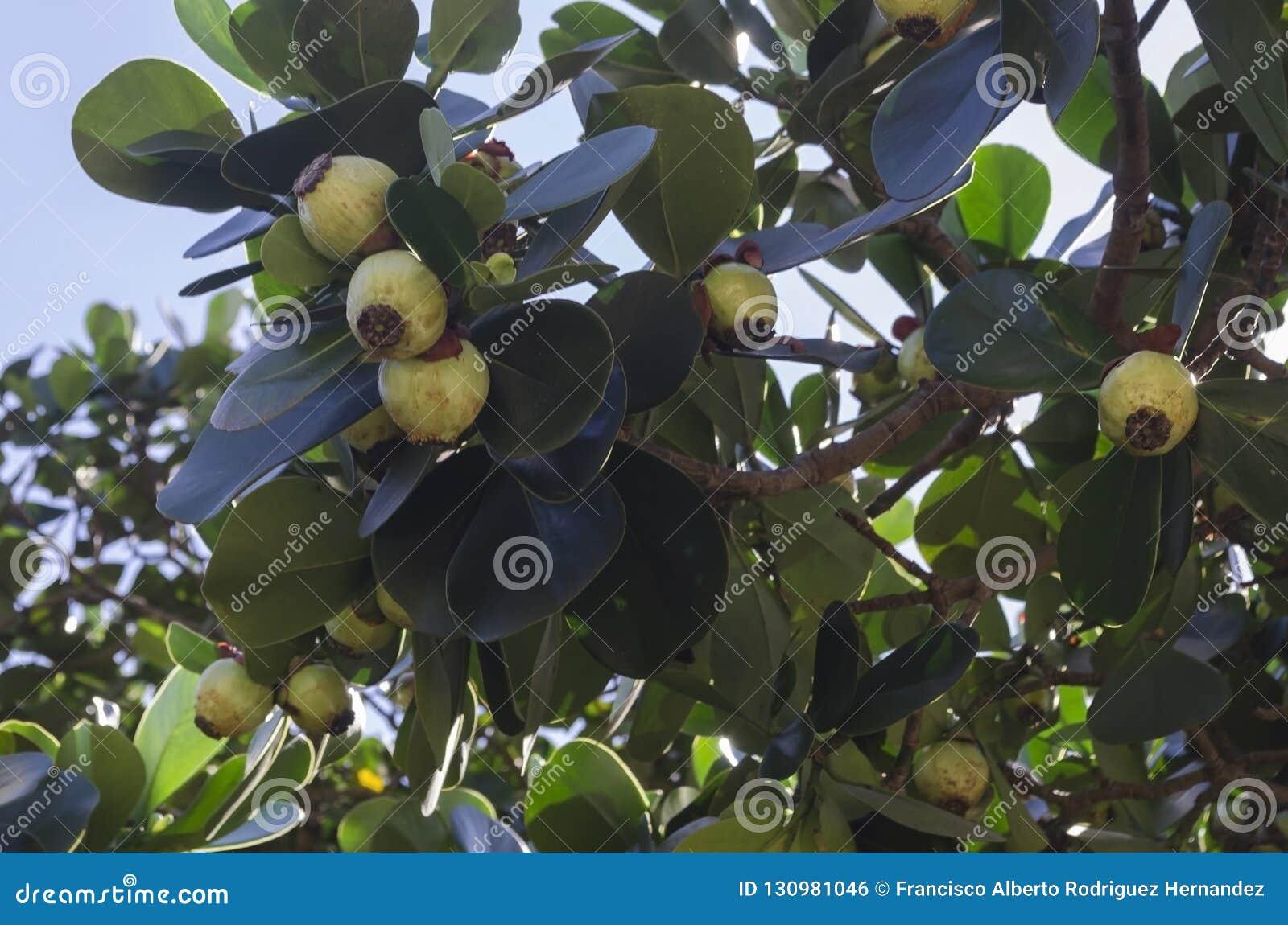 El rosea del Clusia, el árbol manuscrito, copey, manzana de bálsamo, echada-Apple, y abogado escocés, es espec. tropical y subtro