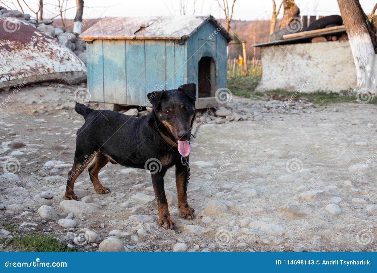 El Rotveller negro se coloca en el patio atado a la cadena cerca de la cabina