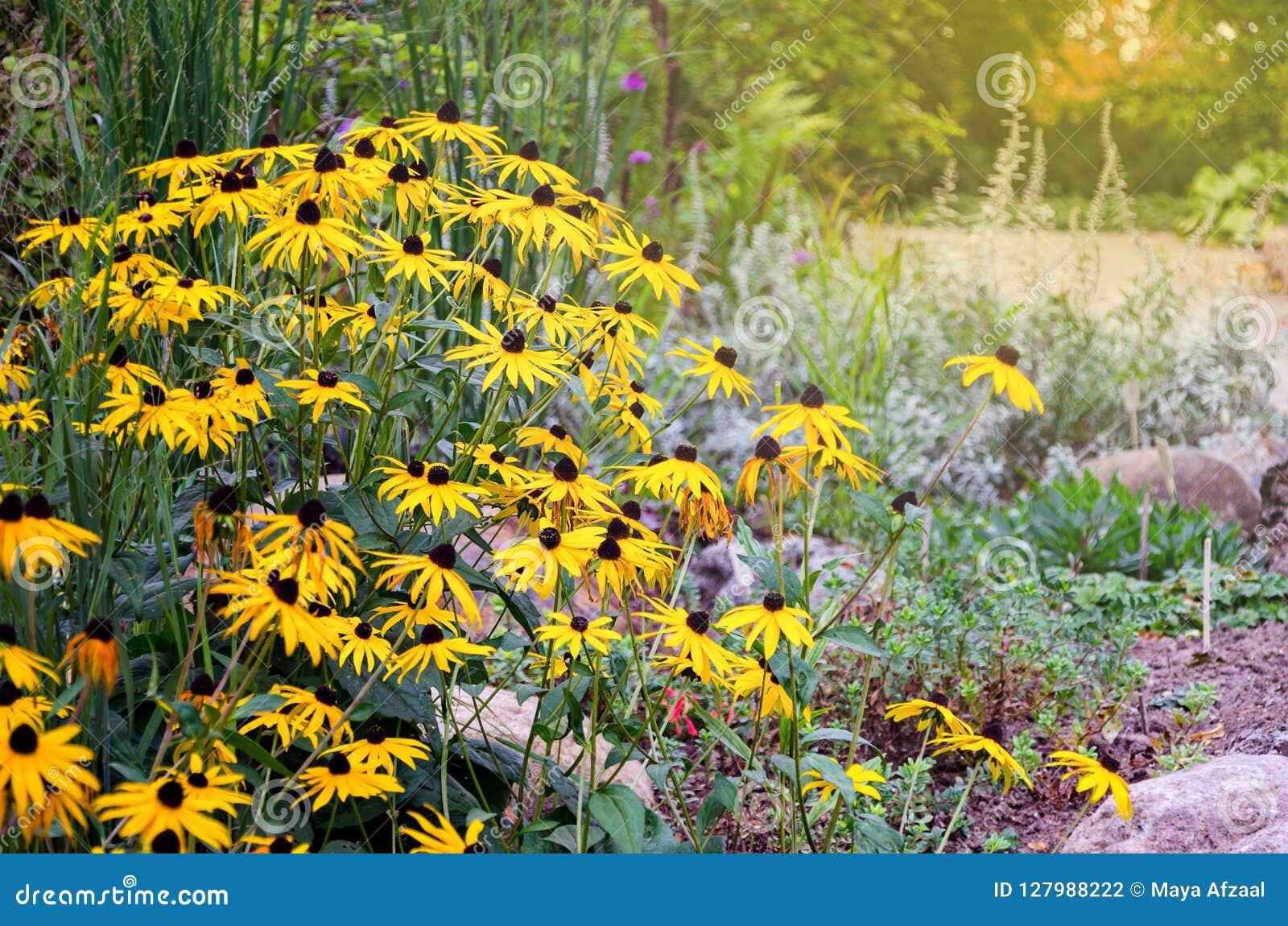 El Rudbeckia florece coneflowers y el negro-observar-sus comúnmente llamados