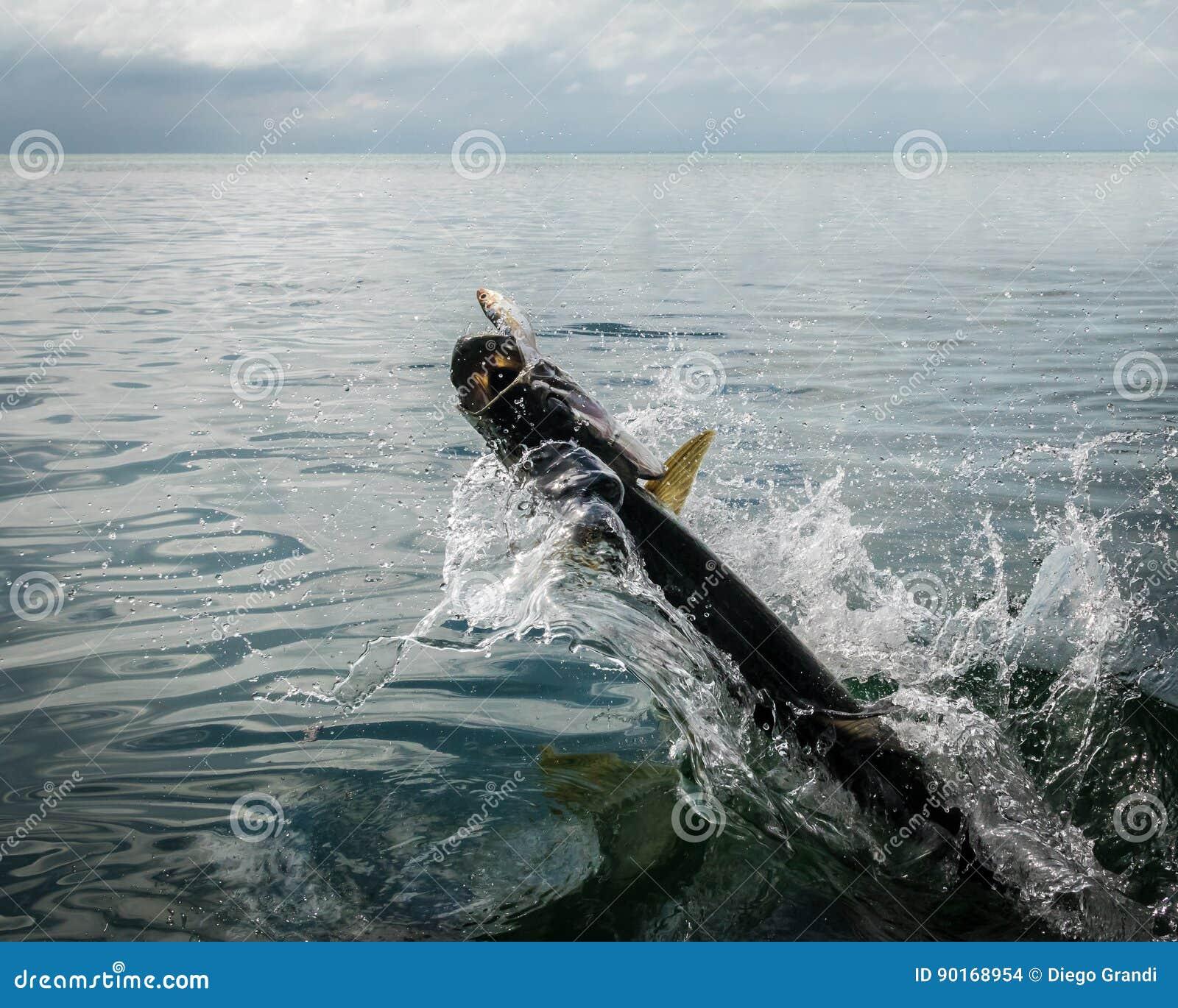 El saltar de los pescados del tarpón del agua - calafate de Caye, Belice