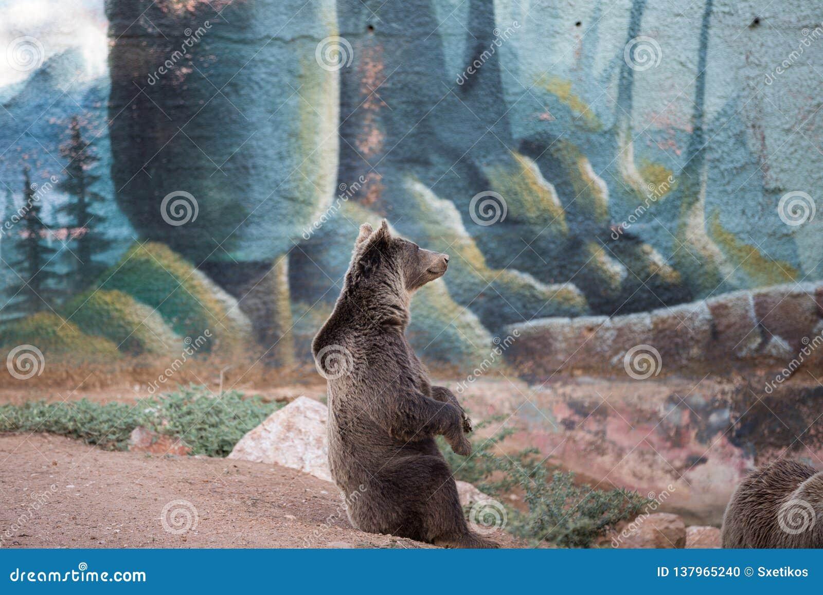 El sentarse del oso marrón