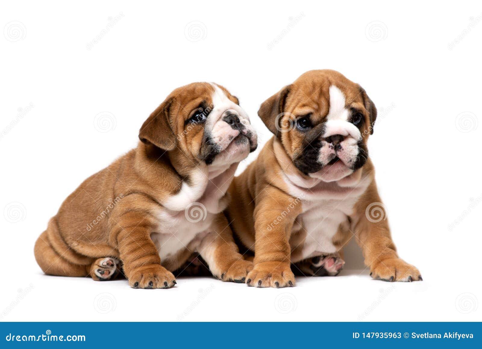 El sentarse inglés lindo de dos perritos del dogo siguiente, escuchando cuidadosamente, aislado en un fondo blanco