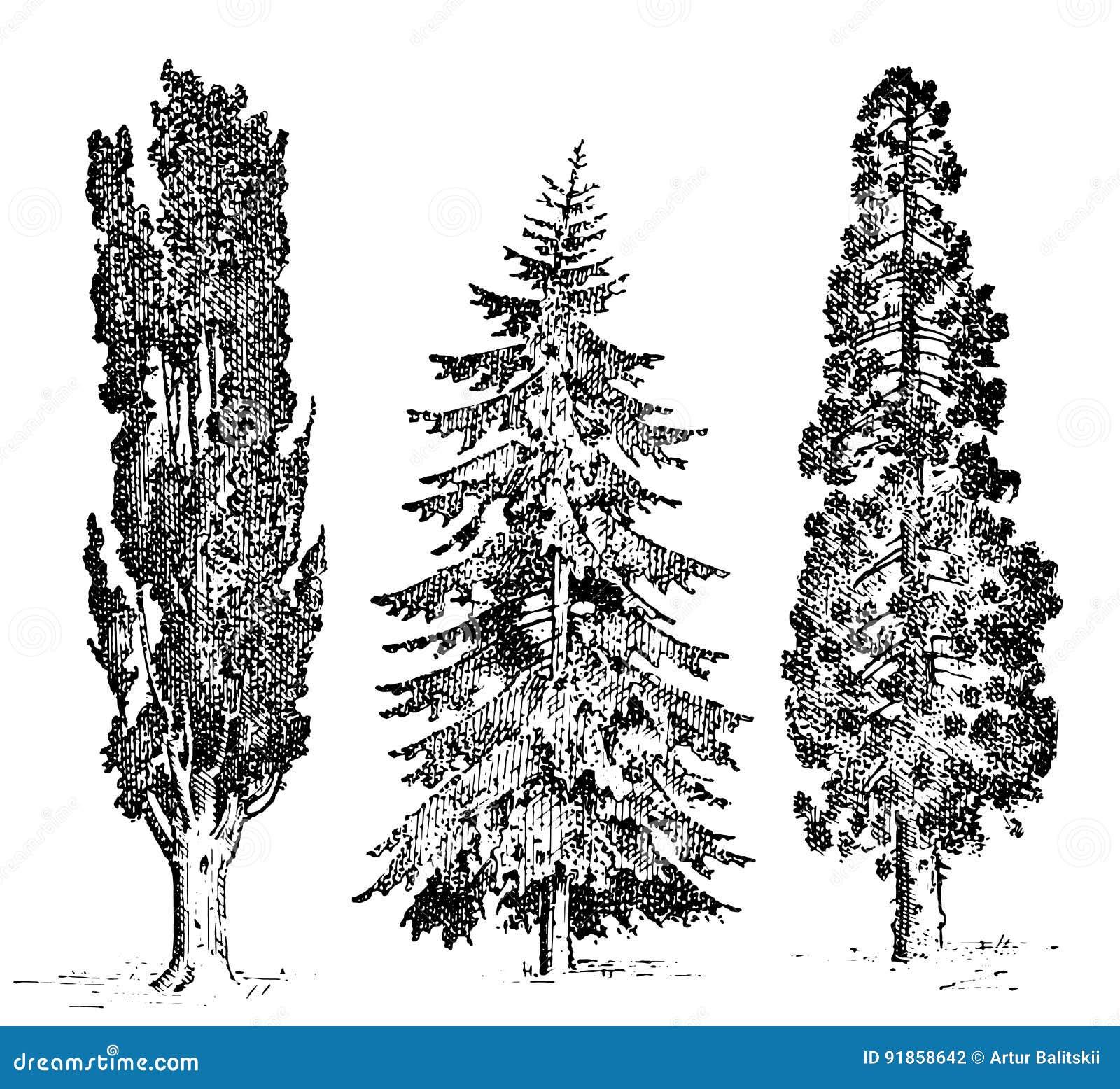 El sistema del ciprés italiano y del pino de piedra dibujados mano, pinea, ejemplo de los árboles del vector, grabó símbolos del