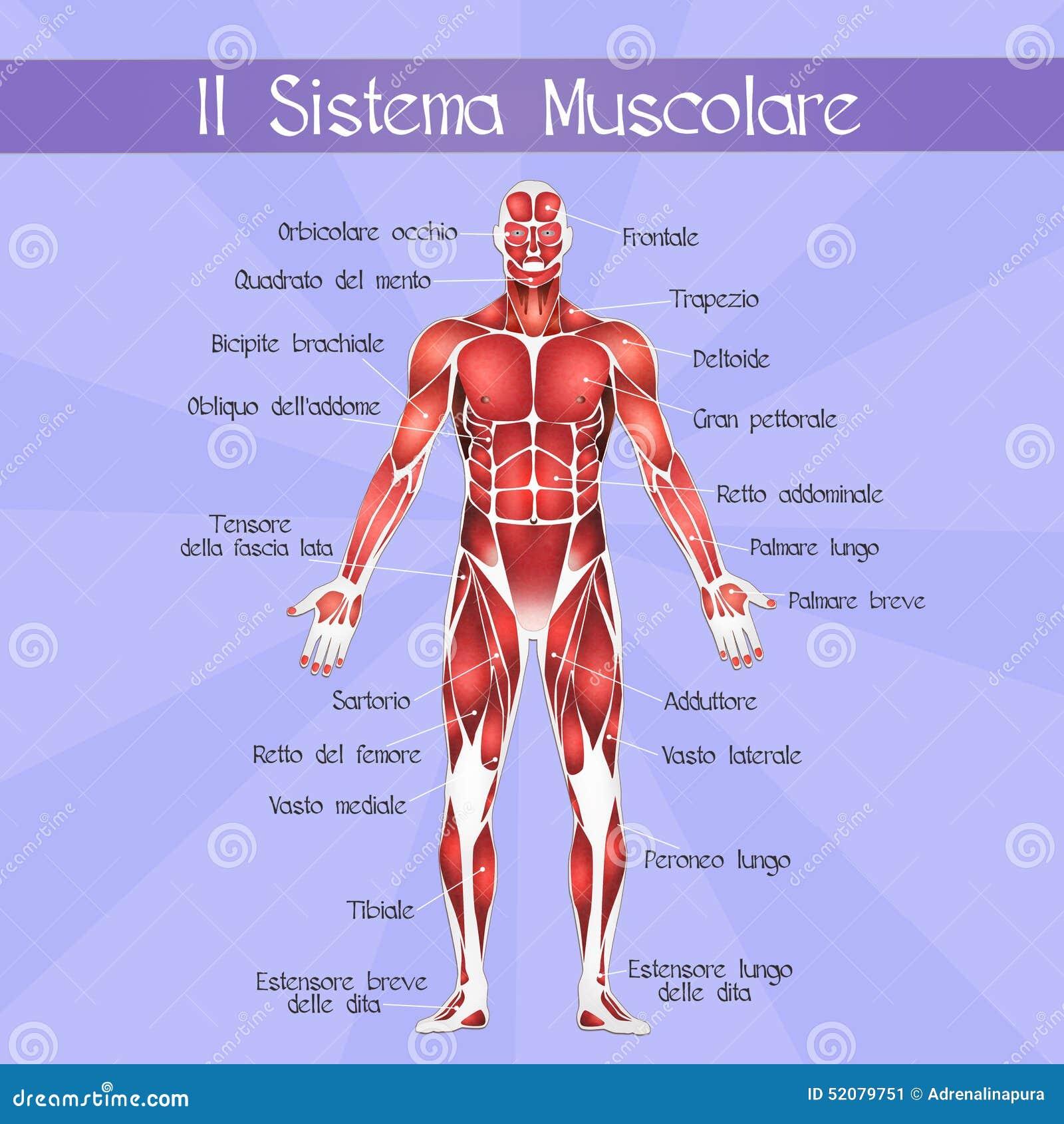 Increíble Etiquetar El Sistema Muscular Molde - Imágenes de Anatomía ...