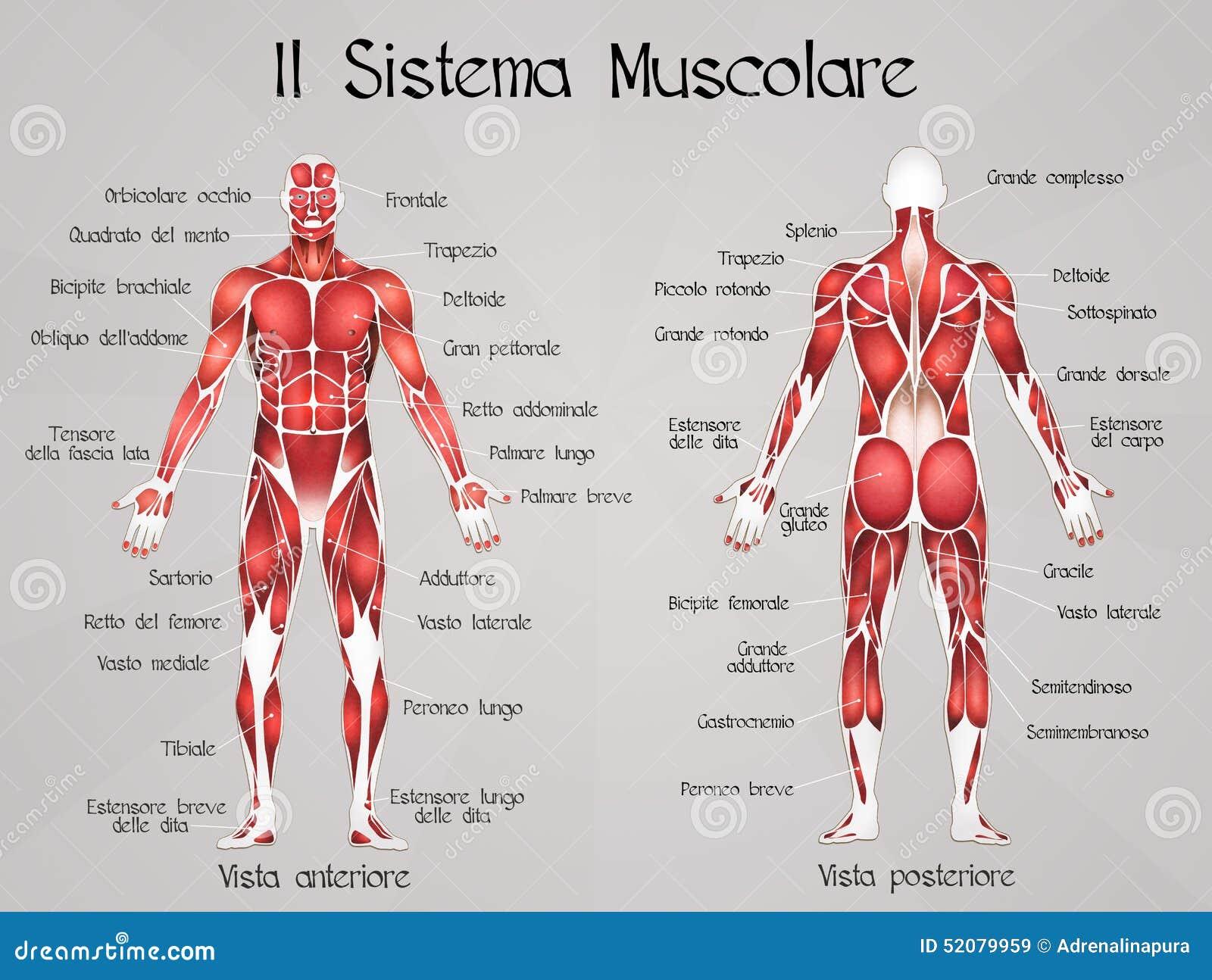 Contemporáneo Foto Sistema Muscular Humana Regalo - Anatomía de Las ...