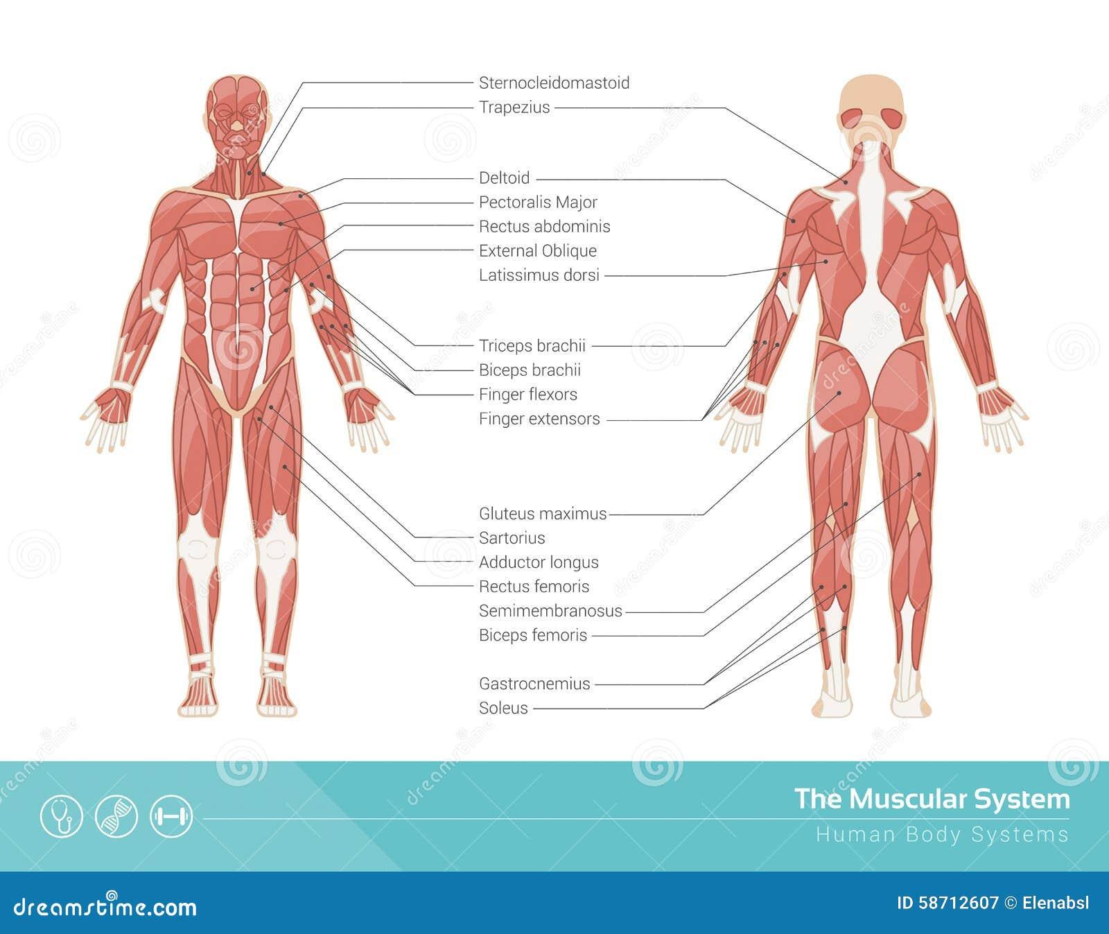 El sistema muscular ilustración del vector. Ilustración de piernas ...