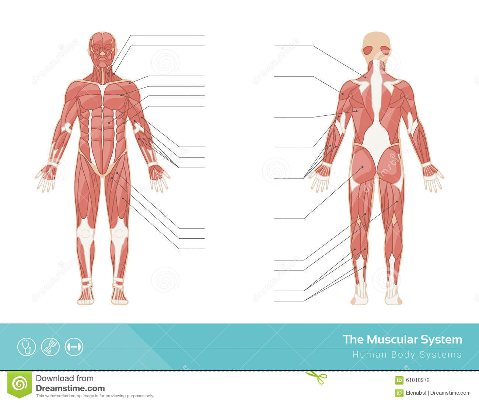 El sistema muscular ilustración del vector. Ilustración de abdominal ...