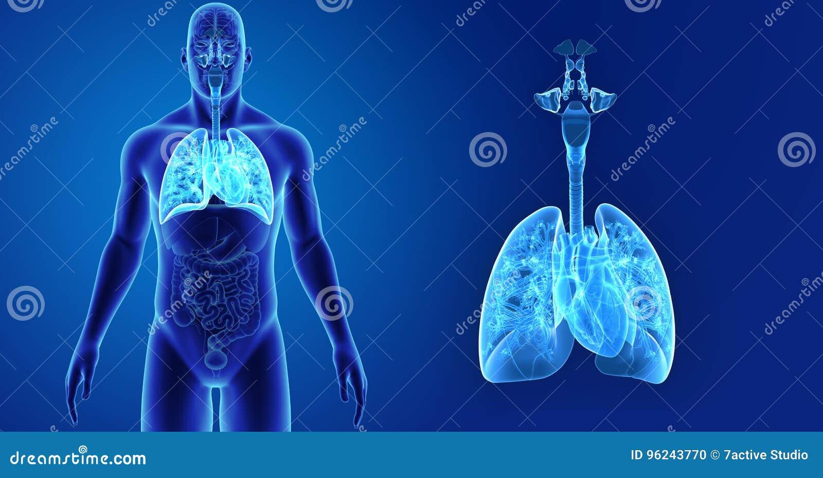 El Sistema Respiratorio Y El Corazón Humanos Enfocan Con La Opinión ...