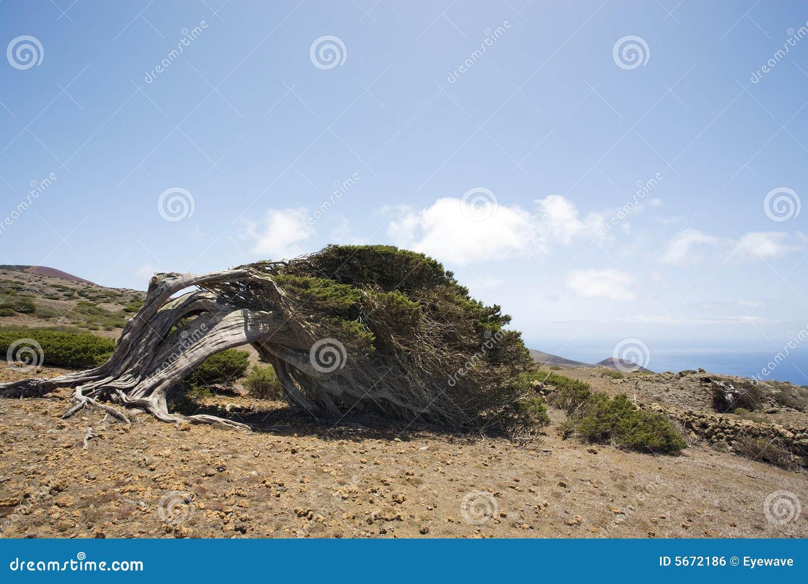 El skrzywiony ponosi hierro drzewa jałowcowego wiatr