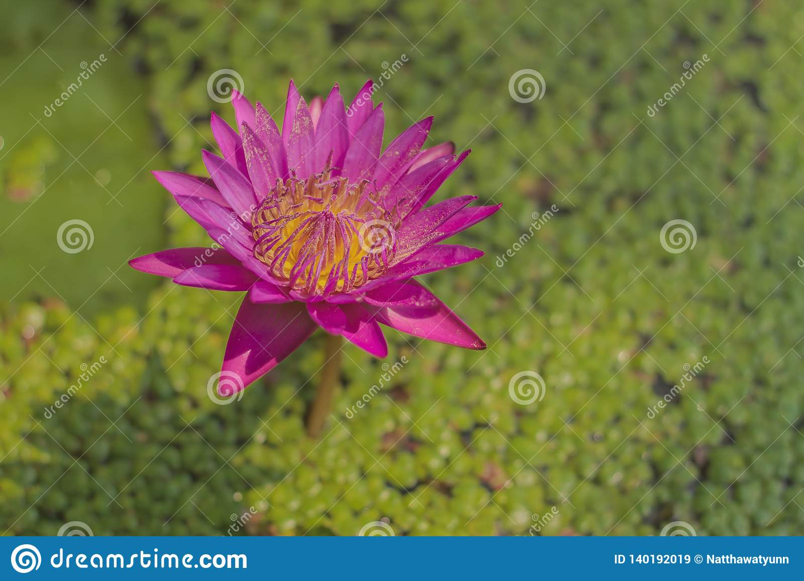 El stellata del Nymphaea o el lirio de agua con las aletas rosadas y el polen amarillo es una planta de agua con un tronco subter