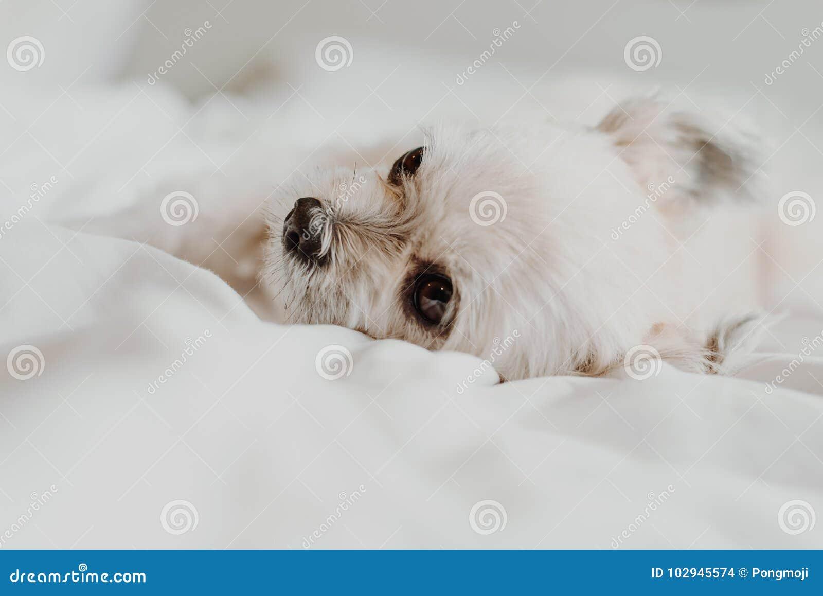 El sueño dulce del perro miente en una cama del velo blanco