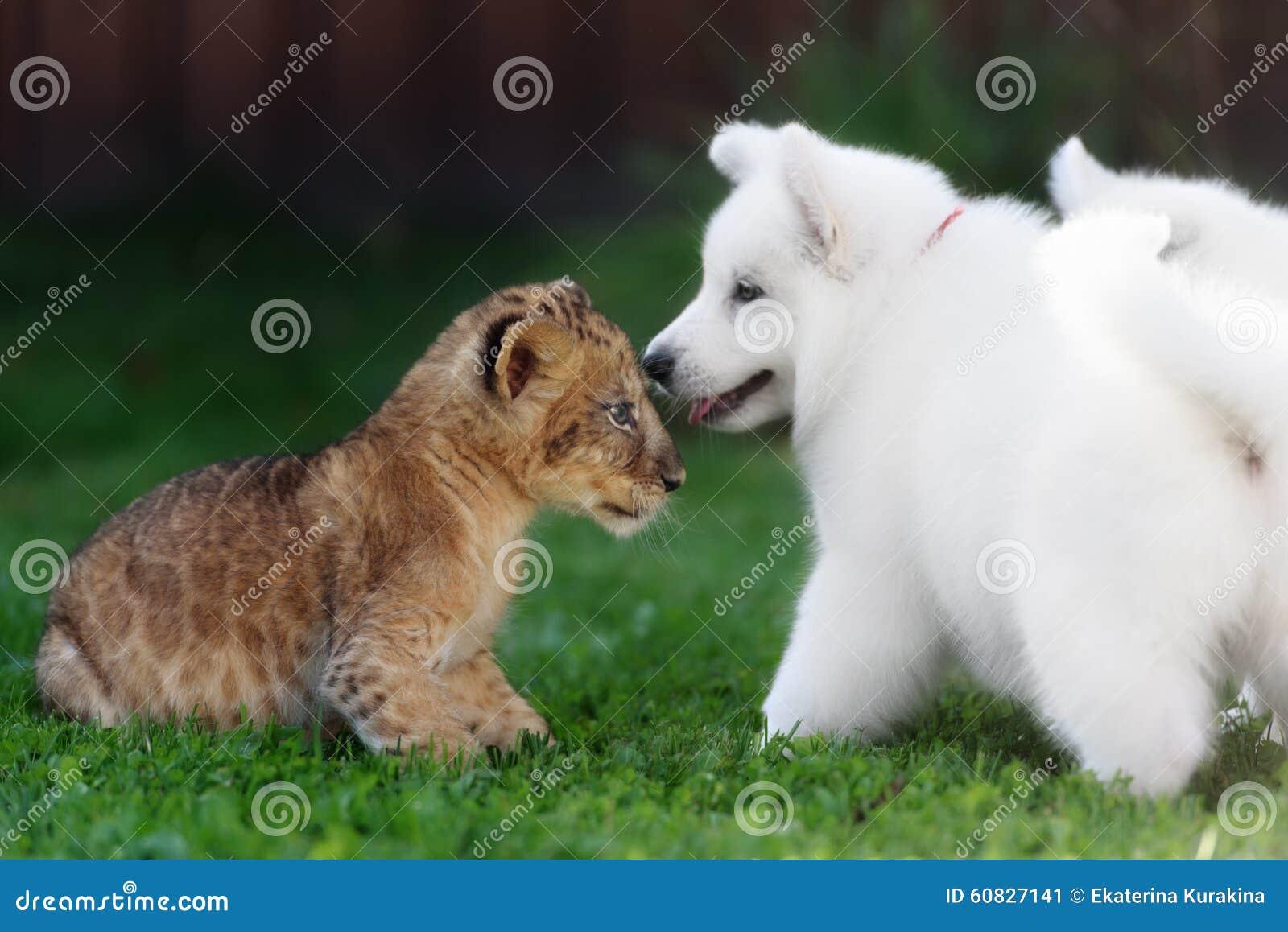 El suizo blanco Shepherds el perrito que miente con el león