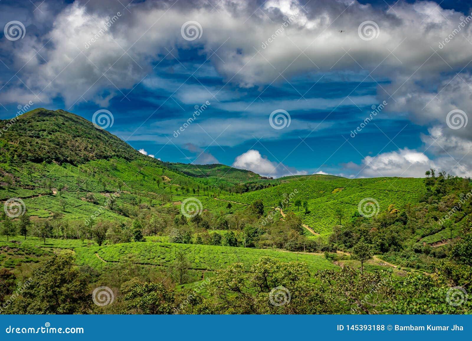 El té verde cultiva un huerto las colinas con el cielo azul