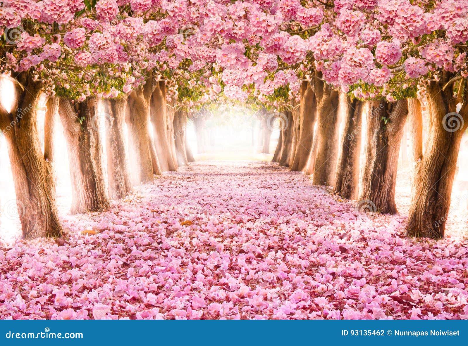 El túnel romántico de los árboles rosados de la flor