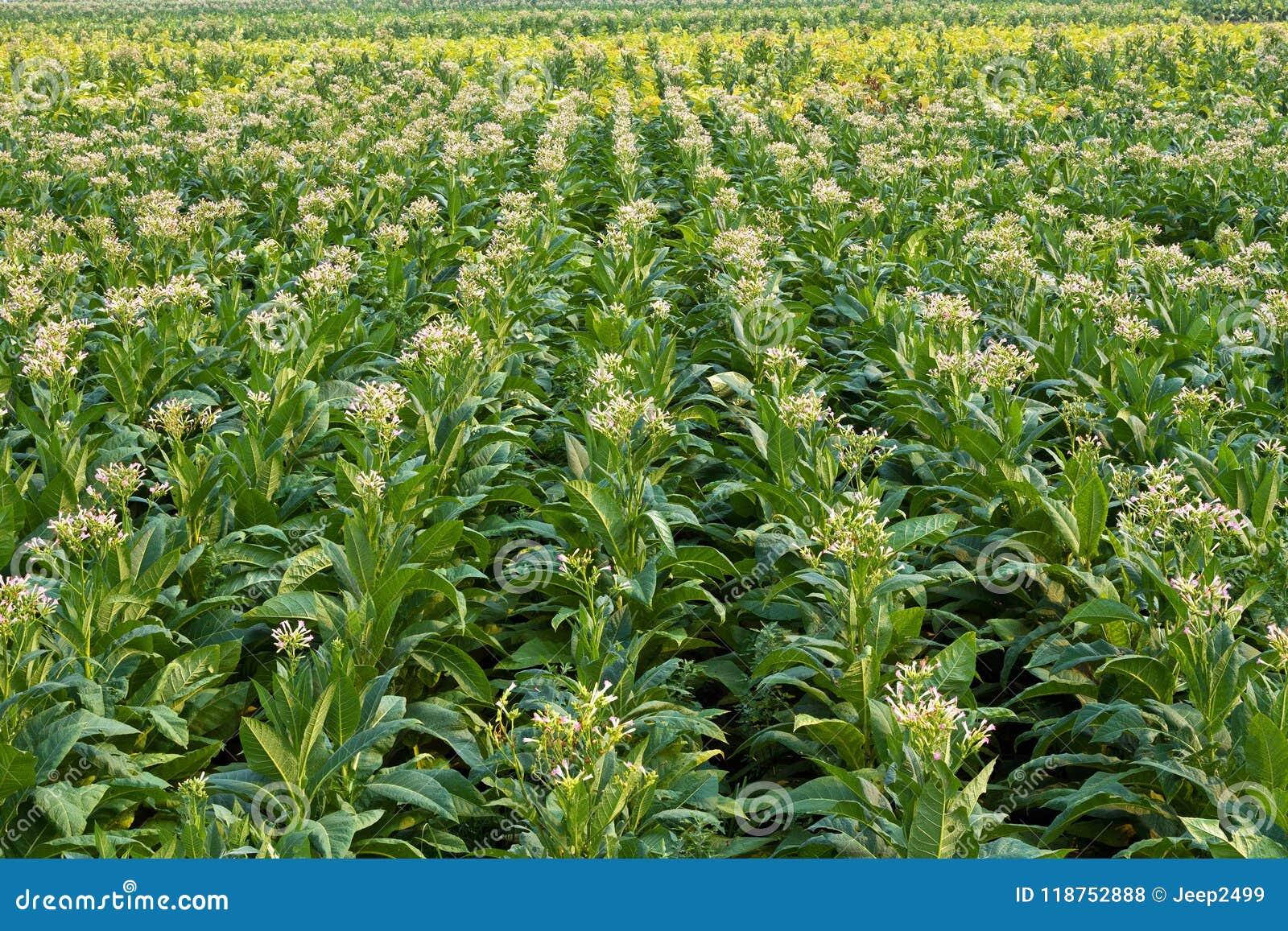 El tabaco está floreciendo en el campo