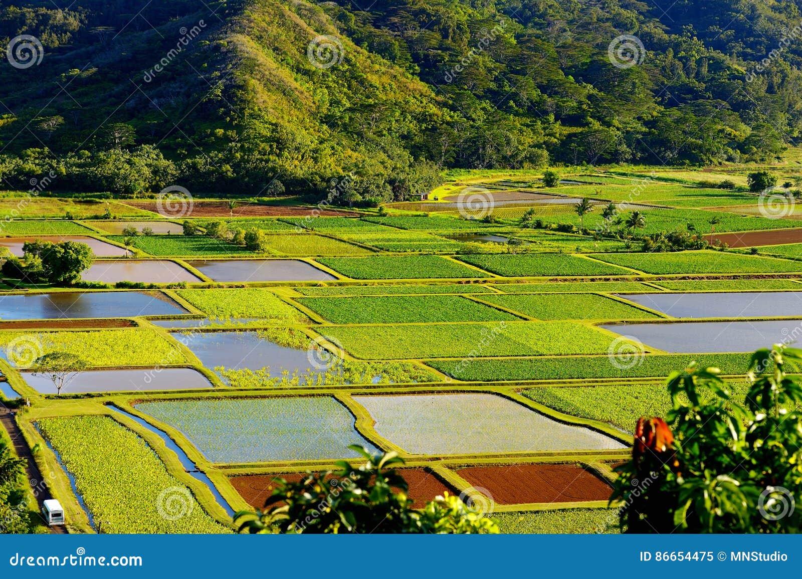 El taro coloca en el valle hermoso de Hanalei en la isla de Kauai, Hawaii