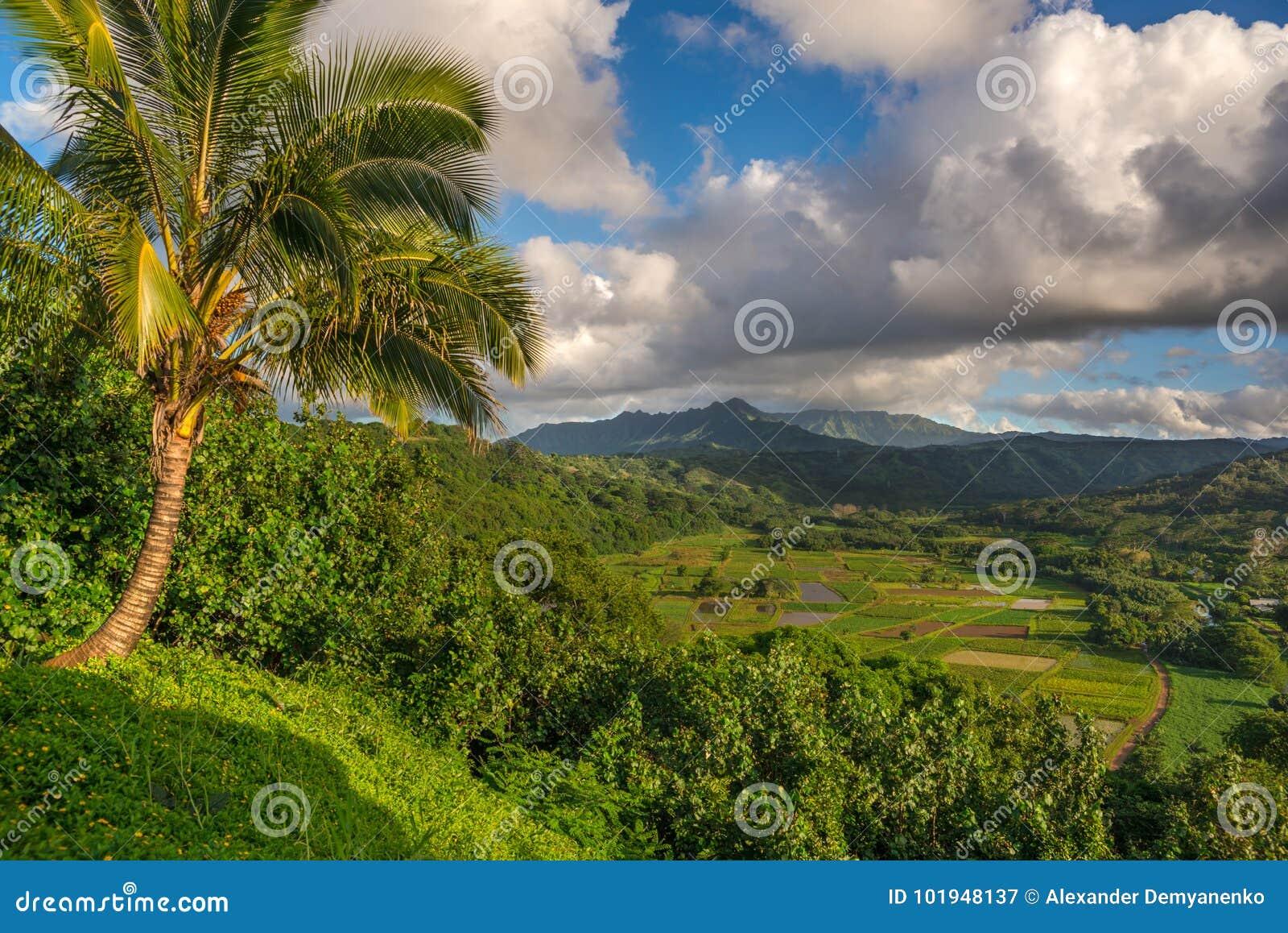 El taro coloca en el valle hermoso Kauai, Hawaii de Hanalei