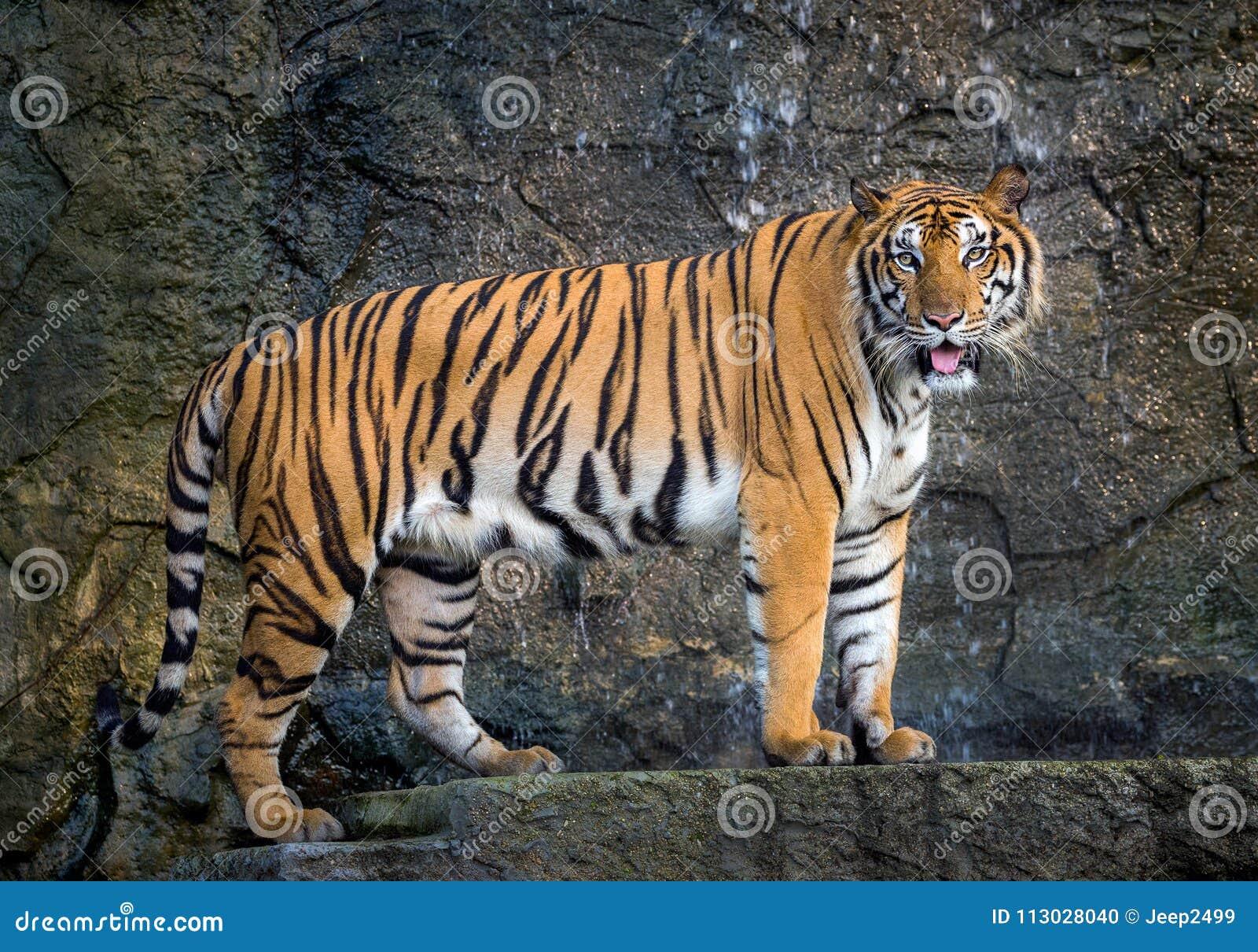 El tigre de Sumatra se está colocando en la atmósfera natural del parque zoológico