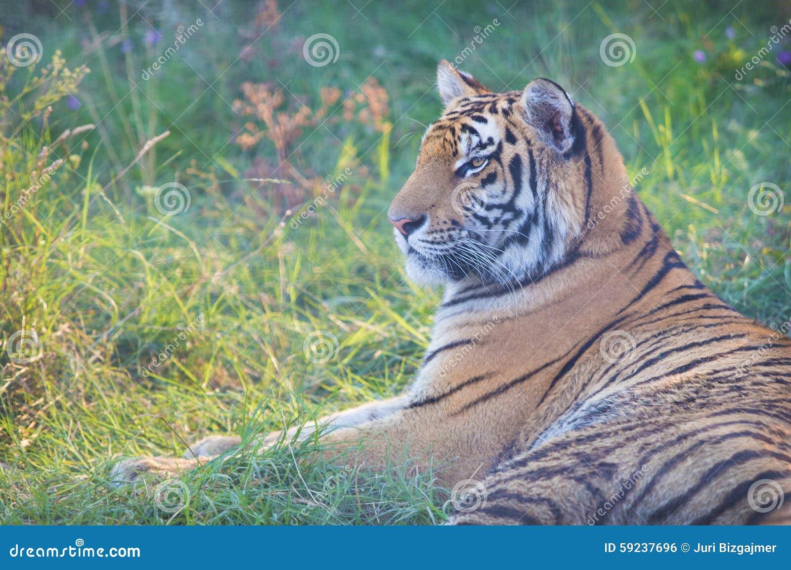 El tigre grande miente en hierba