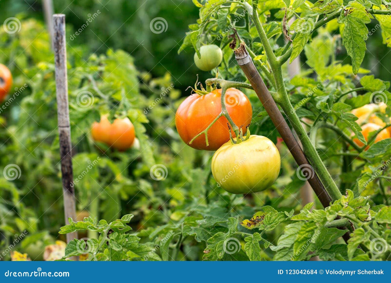 El tomate cantará en una rama