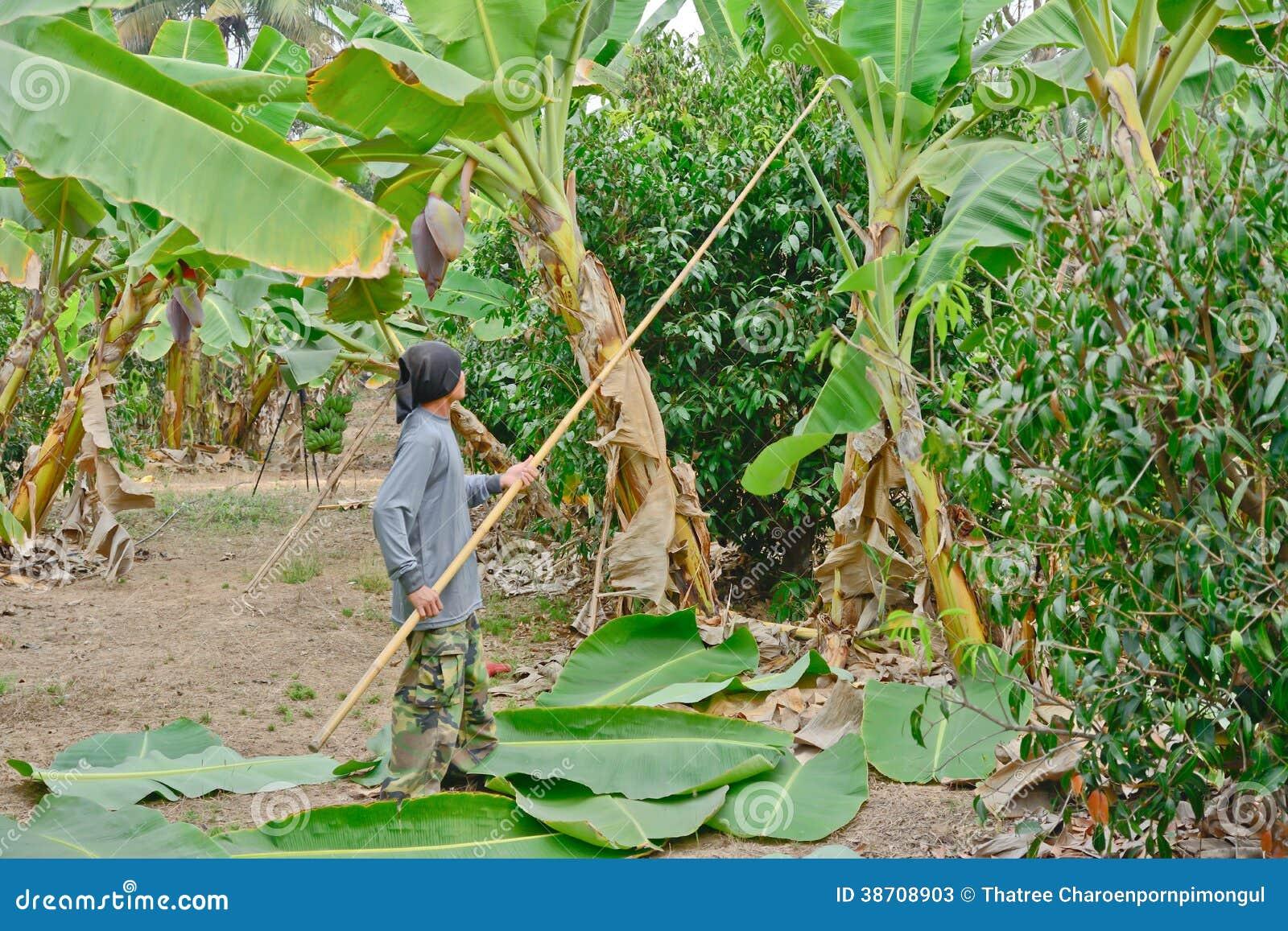 El Trabajador Est Cortando Las Hojas Del Pl Tano Foto De Archivo  # Muebles Hoja De Banano