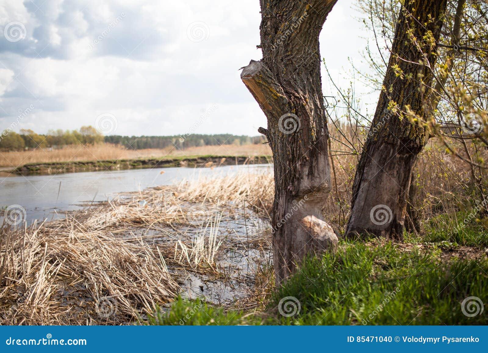 El trabajo de un castor en árbol del bosque A se roe apagado Es típico para que los castores caigan árboles