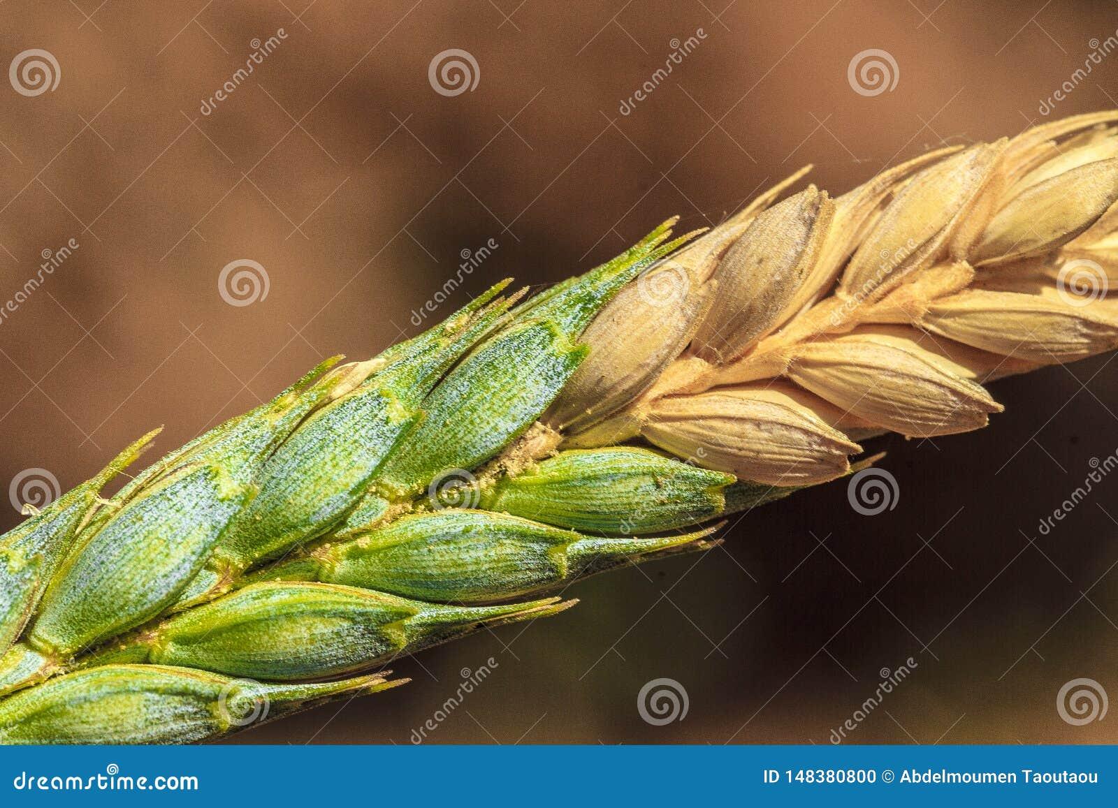 El trigo atacó por Fusarium
