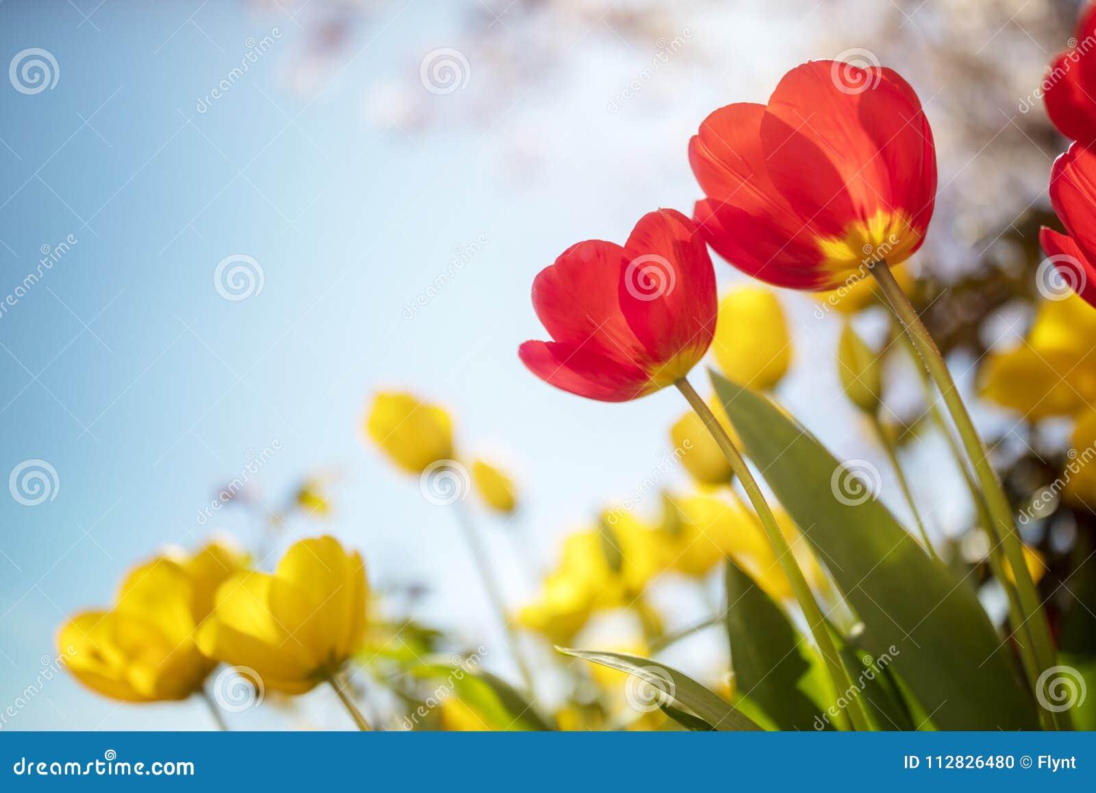 El tulipán de la primavera florece contra un cielo azul en la sol