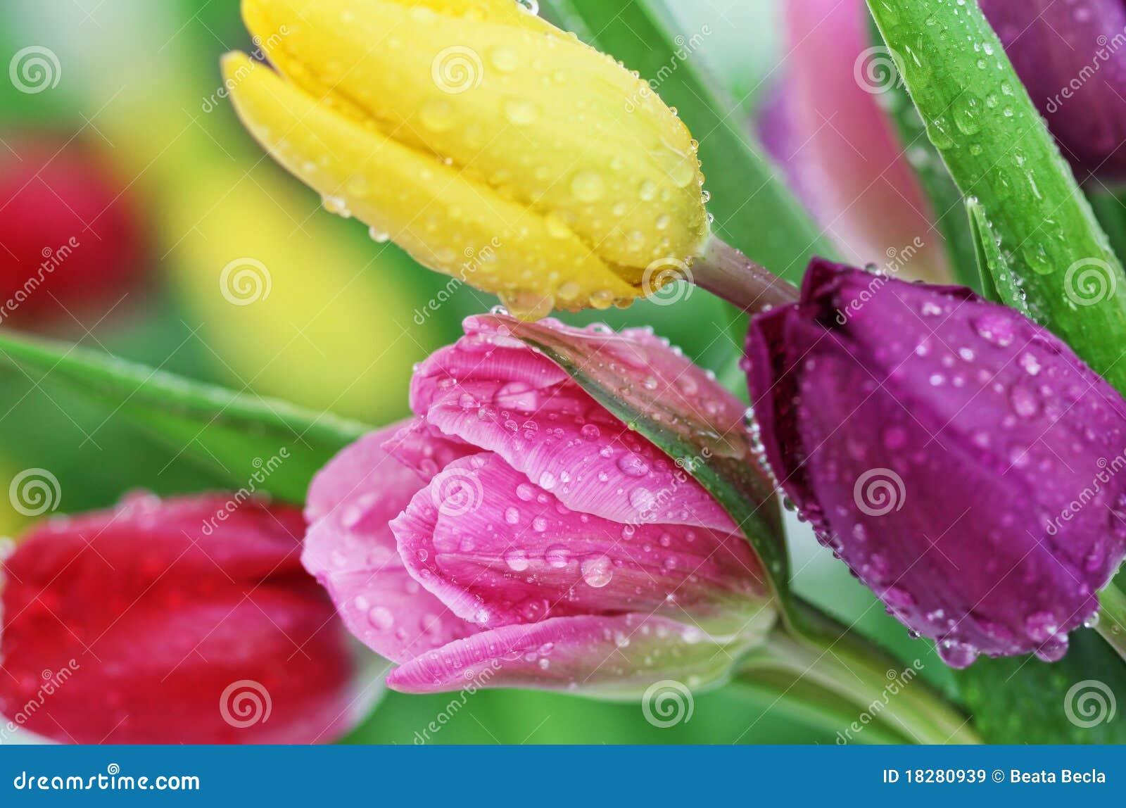 El tulipán del resorte florece el primer