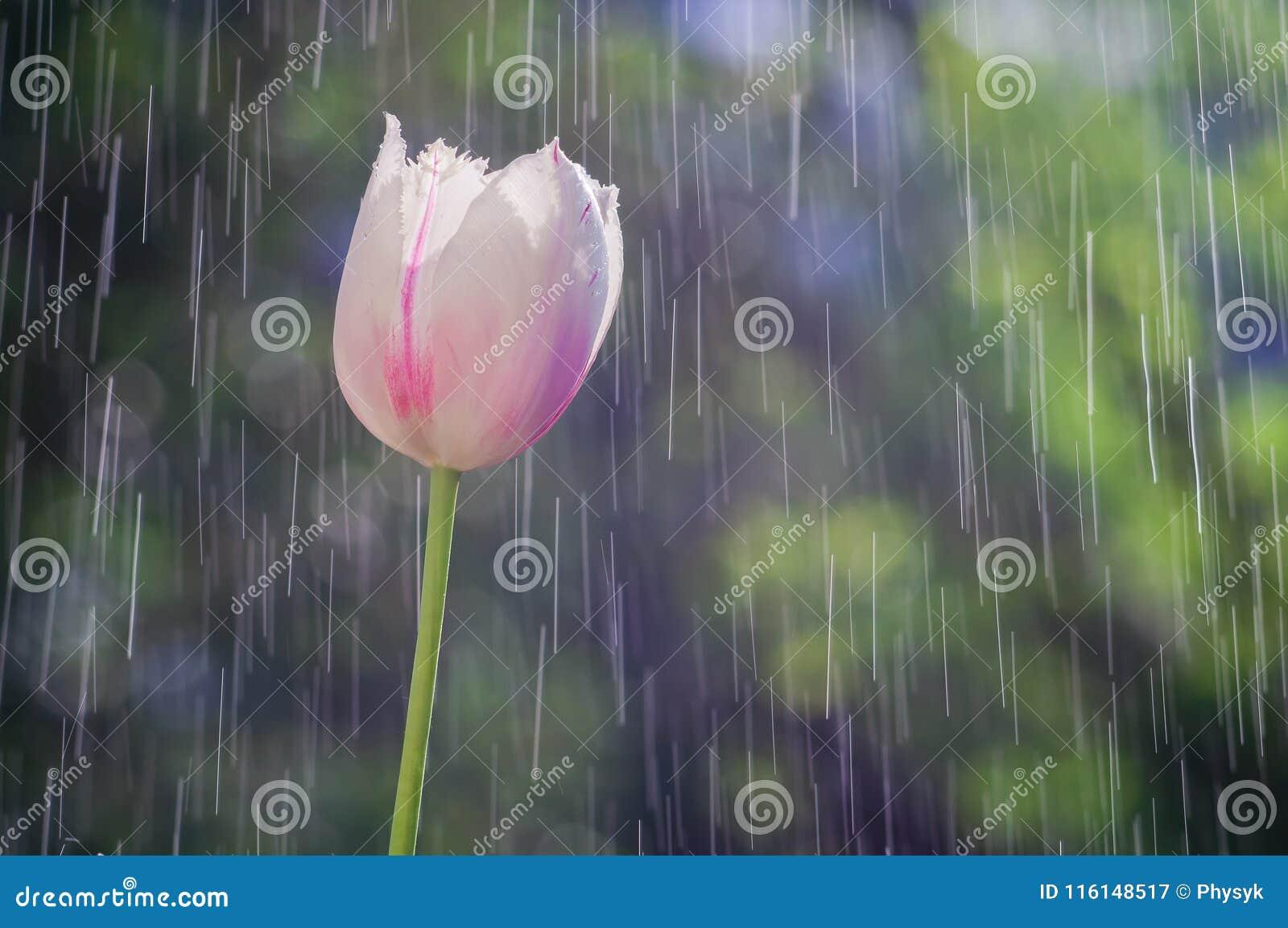 El tulipán rosa claro en el fondo de la lluvia cae pistas