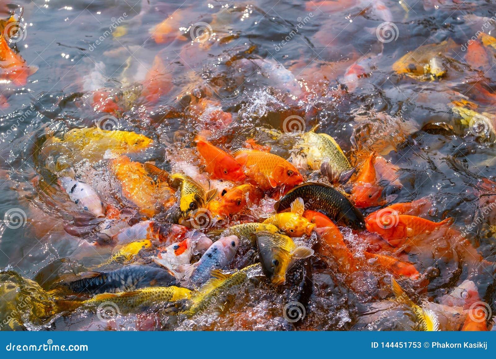 El turismo alimenta mucho la carpa de lujo hambrienta, pescado de la carpa de espejo, Koi en la charca