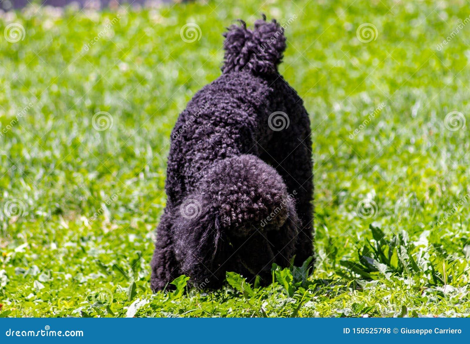 El vagabundo ha definido muy bien características faciales y es fácilmente distinguible de cualquier otra raza del perro: La cabe