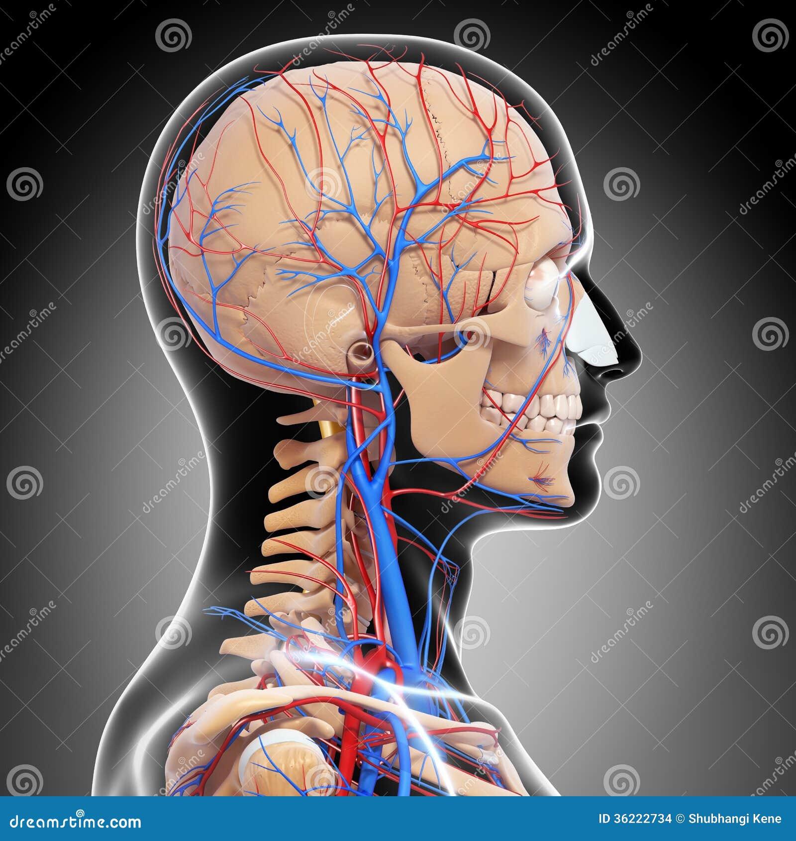 El Varón Dirige Detrás El Sistema Circulatorio De La Visión En Gris ...