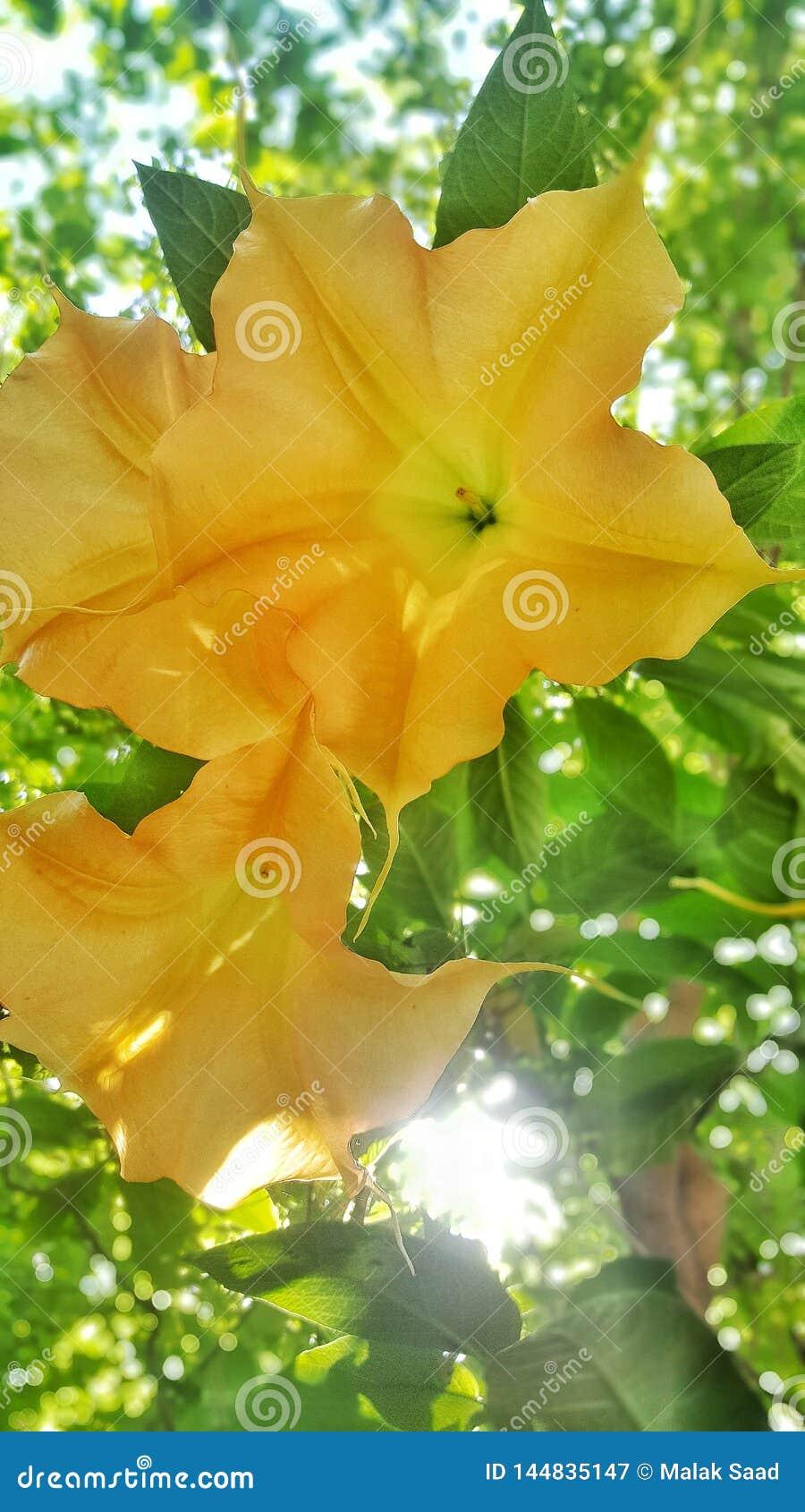 El versicolordel Brugmansiaes un plantdel ofde la especieen trompetasde los angel'sde Solanaceaedel t