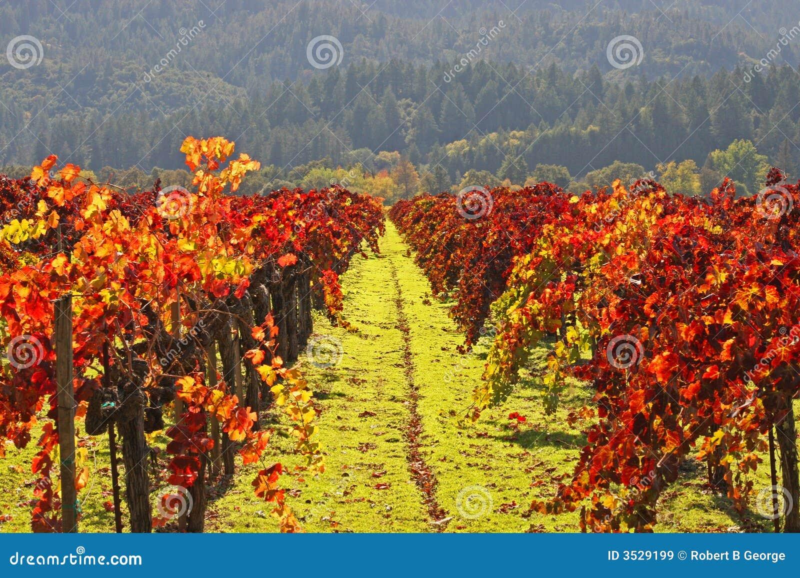El viñedo W/Autumn colorea Napa