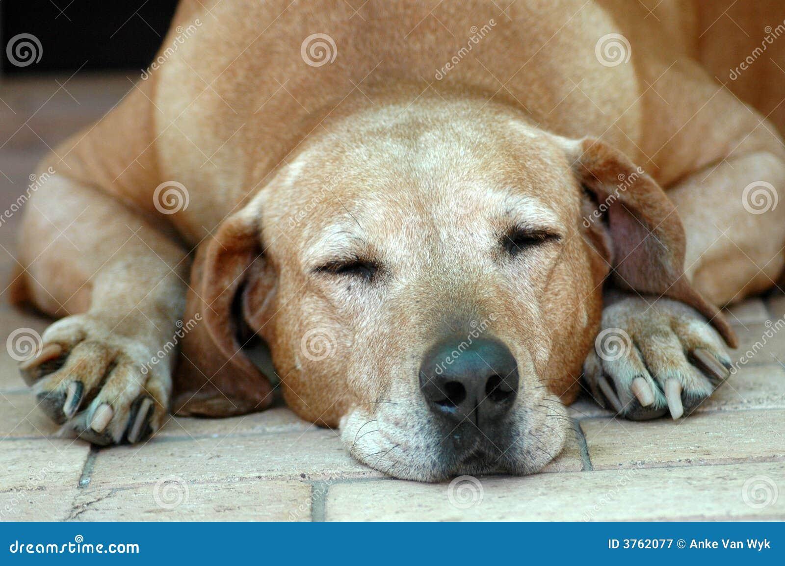El viejo dormir del perro