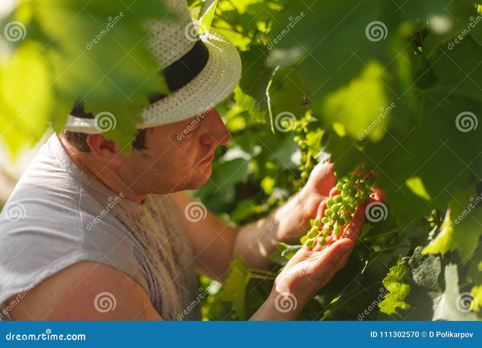 El viticultor está comprobando la uva blanca en el viñedo por el tiempo soleado